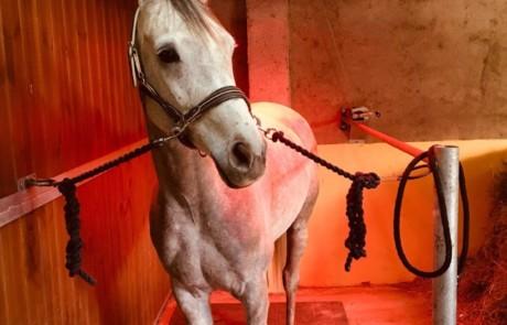 Pferd unter einer Wärmelampe
